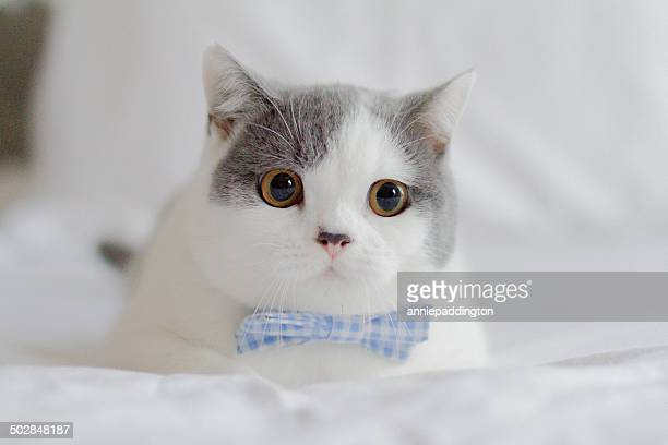 Kitten with bowtie