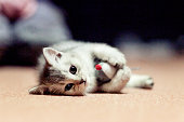 Kitten with mouse toy