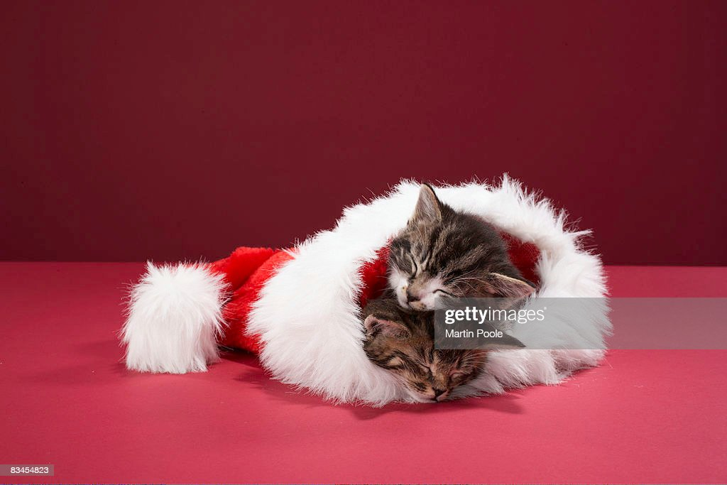 Kittens asleep together in Christmas hat : Stock Photo