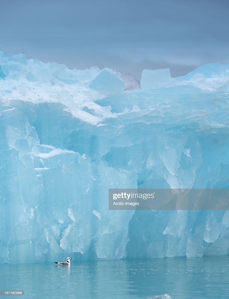 Kittiwake swimming by icebergs, Svalbard, Norway : Stock Photo