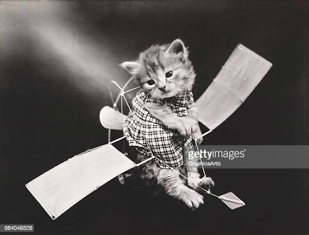 Kitty pilot flying a plane from a series of dressed kittens in various human situations circa 1914 Silver print