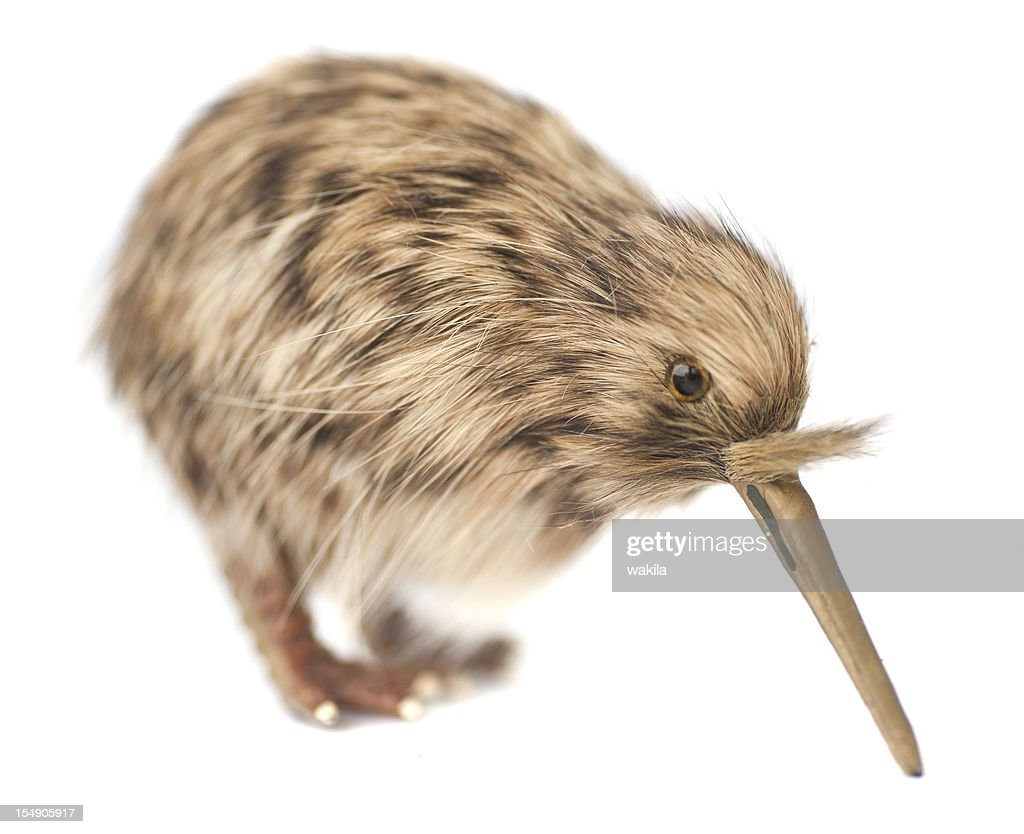 kiwi bird : Stock Photo