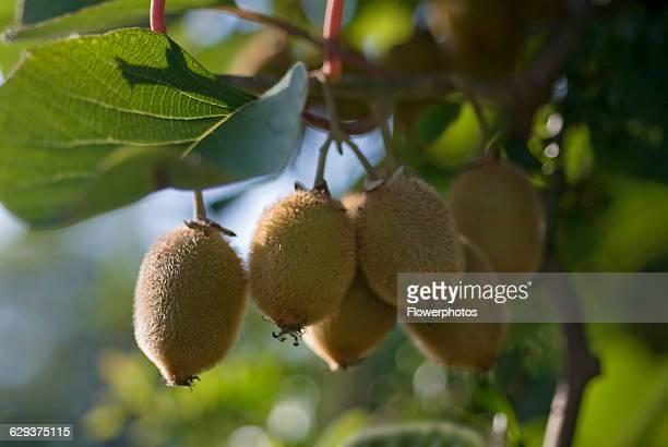 Kiwi Fruit Actinidia chinensis