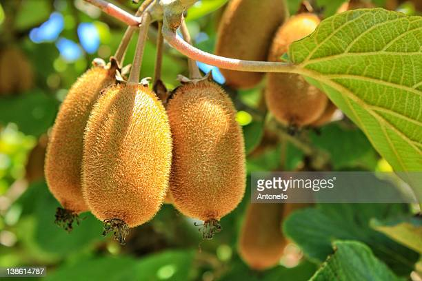 kiwi fruit on tree