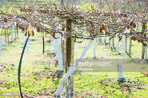 kiwi fruits on a branch in garden : Stock Photo
