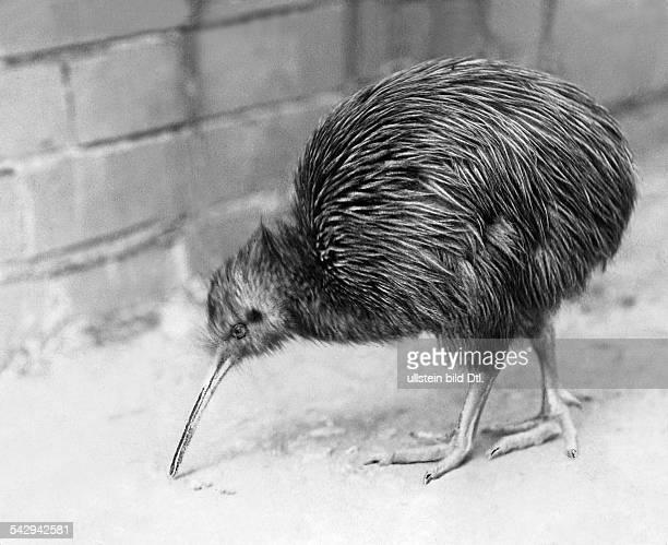 Kiwi im Zoo von London Die Kiwis oder Schnepfenstrauße sind flugunfähige nachtaktive Vögel in den Wäldern Neuseelands undatiert vermutlich...