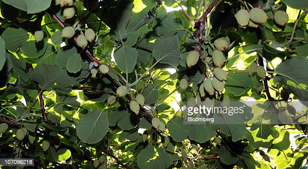 Kiwifruit grows on vines in the orchard of the Kiwi360 theme park in Te Puke New Zealand on Monday Nov 23 2010 A bacterial vine disease was found in...