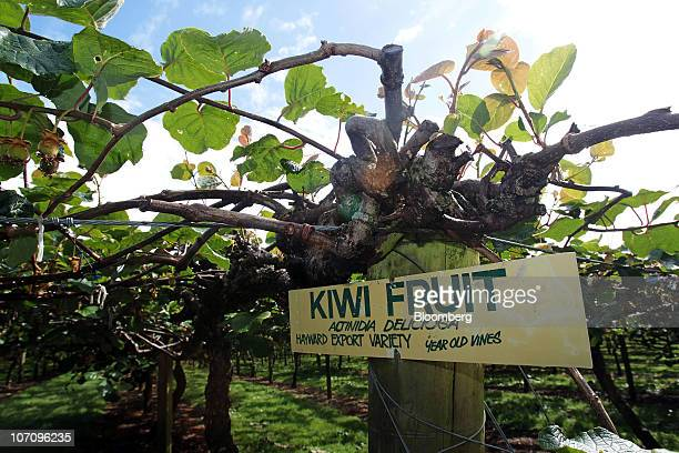 Kiwifruit vines grow in the orchard of the Kiwi360 theme park in Te Puke New Zealand on Monday Nov 23 2010 A bacterial vine disease was found in an...