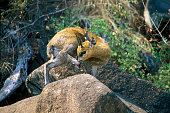 Klipspringer antelope on rock of koppie grooming foot Kruger National Park South Africa