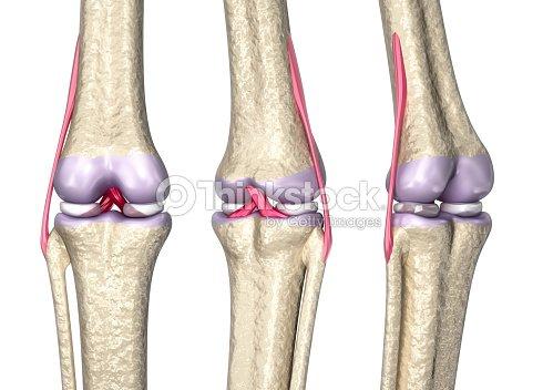 Knie Gemeinsamen Anatomie 3dmodell Stock-Foto | Thinkstock