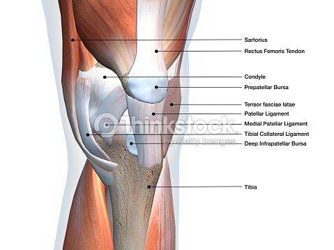 Los Músculos De La Rodilla Y Ligamentos Piezas Etiquetadas Sobre ...