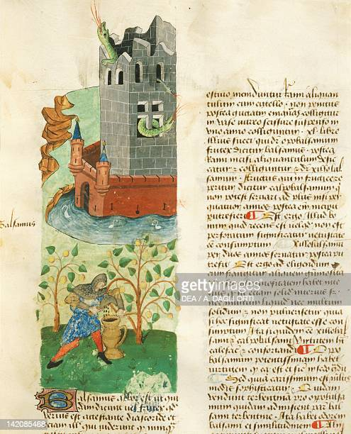 A knight while he extracts a substance from a plant in order to hunt the dragon nesting in the castle miniature from Tractatus de herbis Latin...