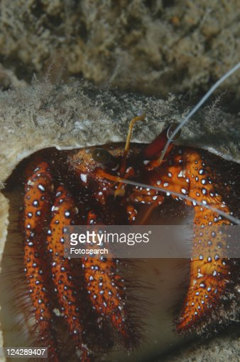 Knobbly Hermit Crab (Dardanus megistos), crab appearing out of shell showing all legs and claws, orange/red in colour, Tahiti, French Polynesia