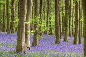 Knott Wood Bluebells