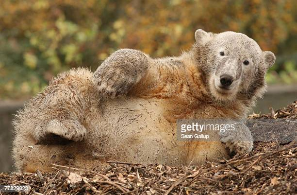 Knut the polar bear born last year in the Berlin Zoo wakes up after a nap in his pen at the zoo November 9 2007 in Berlin Germany Knut who was the...