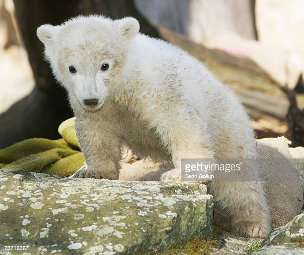 Knut the threemonth old baby polar bear plays under the cheering gaze of the public at the Berlin Zoo March 27 2007 in Berlin Germany Knut was...