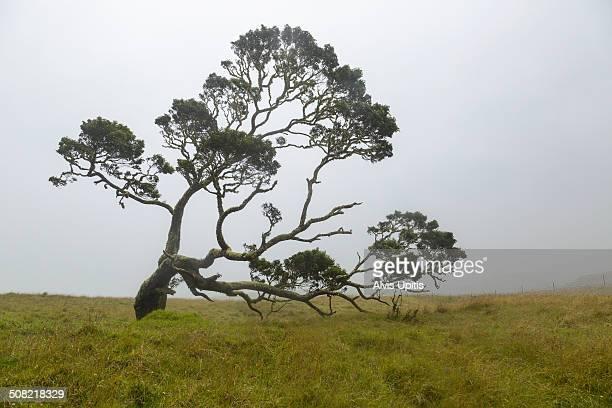 Koa tree on Mana Road in Hawaii