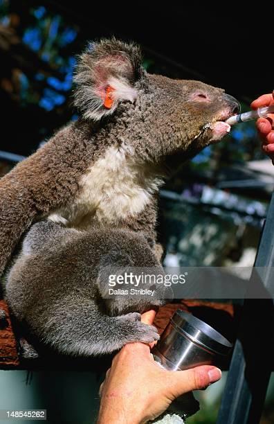 Koala and baby being fed at Koala Hospital.