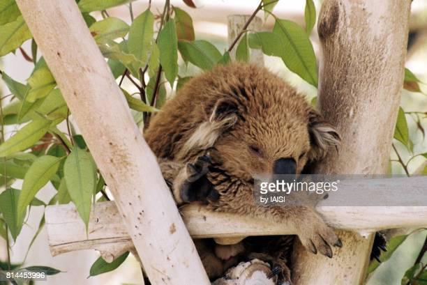 Koala asleep in the eucalypt tree