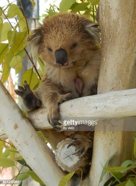 Koala awake