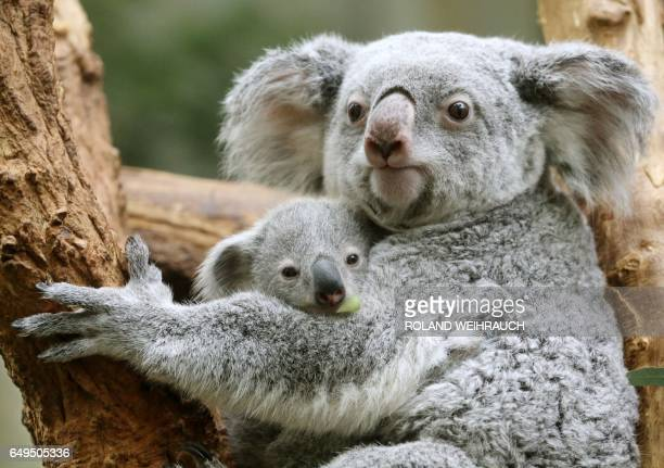 A koala baby 'Ramboora' and its mother Iona are pictured on March 8 2017 in a zoo in Duisburg / AFP PHOTO / dpa / Roland Weihrauch / Germany OUT
