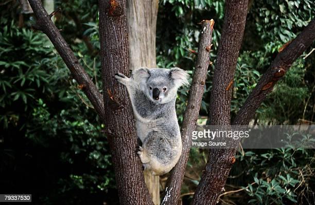 Koala bear climbing a tree