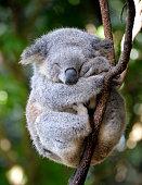 koala asleep in gum tree