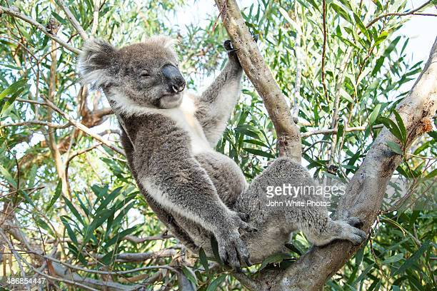 Koala bear sleeping in a gum tree