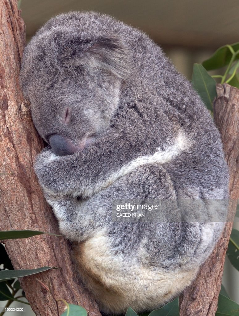 A Koala bear takes a nap at wild life Sydney Zoo on April 2, 2013. The Wild life Sydney Zoo is a big attraction specially for tourists at the Darling Harbour. AFP PHOTO/Saeed KHAN