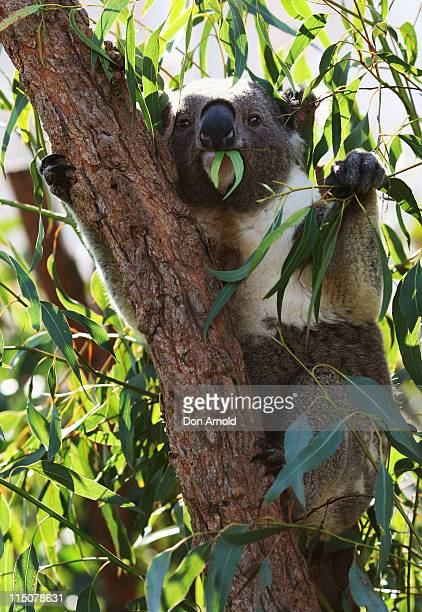 A koala chews on gum leaves during an event which saw Erin McNaught announced as the Australian Koala Foundation's 'Cuddles for Koalas' ambassador at...