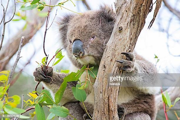 Koala eating Eucalyptus Tree