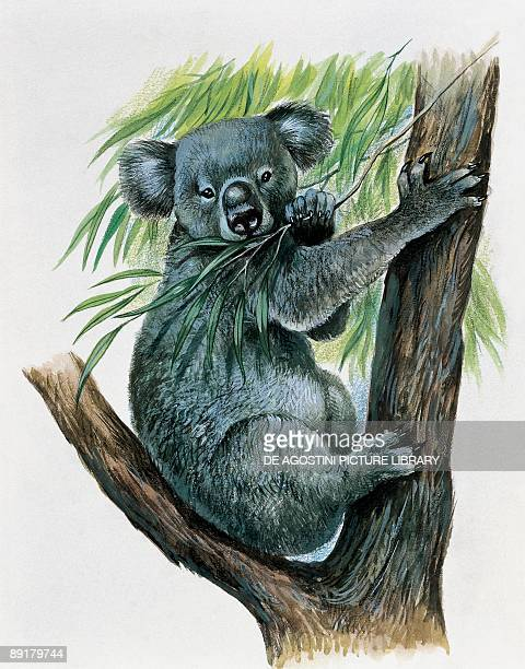 Koala eating leaves on a tree