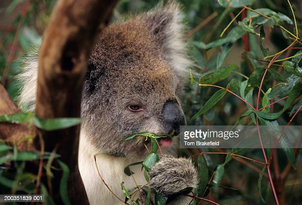 Koala (Phascolarctos cinereus) eating, (Close-up)