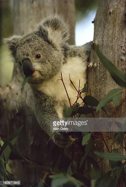 A koala feeding on Eucalyptus leaves in the tall rain forest of south Western Australia in 1964