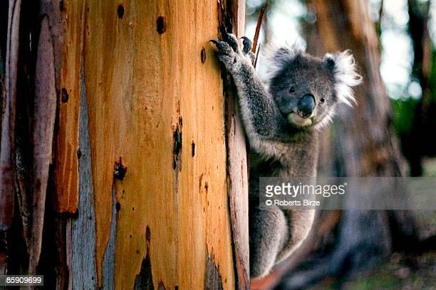 Koala, gum tree