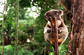 Koala holdin a trunk in a forest.