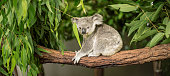 Australian koala outdoors in a eucalyptus tree.