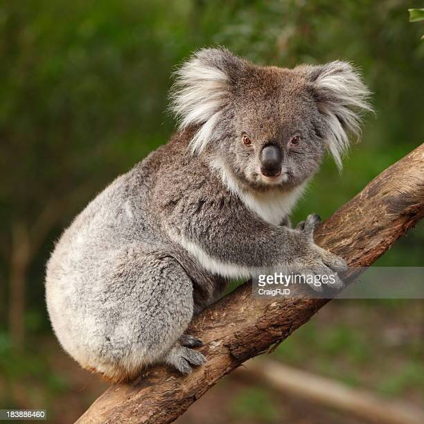 A Koala in a forest that looks to be hanging on to a tree