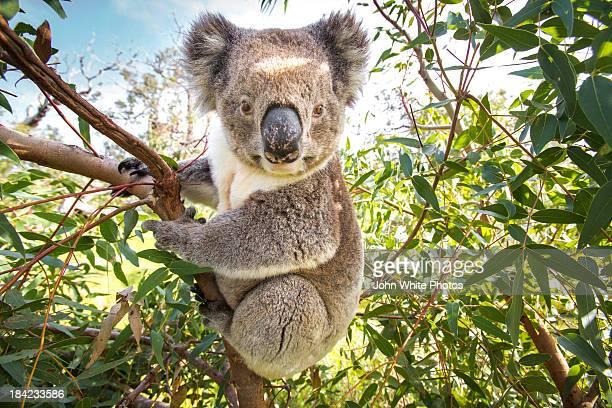 Koala in a gum tree. South Australia