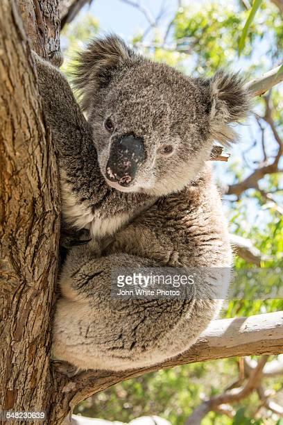 Koala in a gum tree. South Australia.