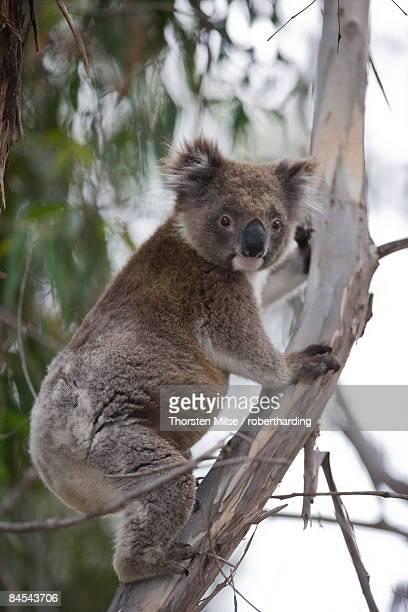 Koala (Phascolarctos cinereus), Kangaroo Island, South Australia, Australia, Pacific