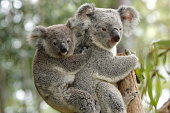 A mother koala with its baby joey looking directly at camera. Cute.For more pictures of Koalas please see this lightbox