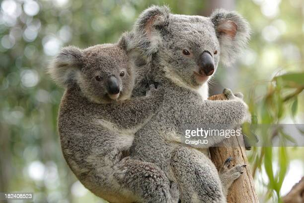 Koala Mother and Child