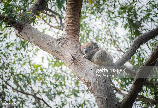 Koala one of the symbol of Australia.