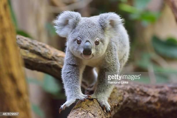 Koala, Phascolarctos cinereus