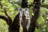 Animal, Animal Hair, One Animal, Australia, Koala