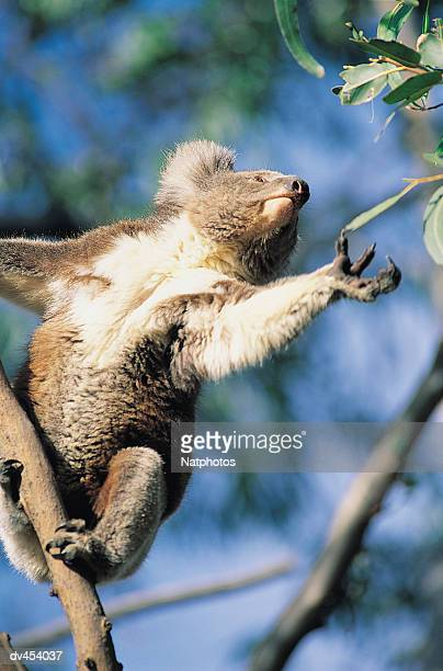 Koala Reaching for Eucalyptus Leaf