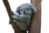 koala smiling resting and sleeping on his tree