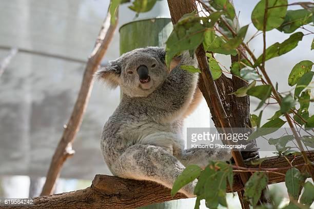 Koala Sitting and Looking At Camera