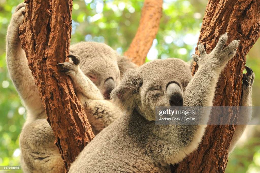 Koalas Sleeping On Tree Trunk At Zoo